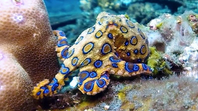 Bạch tuộc độc đốm xanh là loài có độc