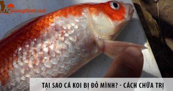 Tại sao cá Koi bị đỏ mình? Cách chữa trị như thế nào?