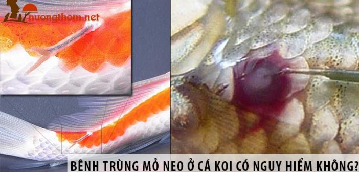 Bệnh trùng mỏ neo ở cá Koi có nguy hiểm không? Cách chữa trị