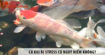 Cá Koi bị stress có nguy hiểm không? Cách chữa hiệu quả