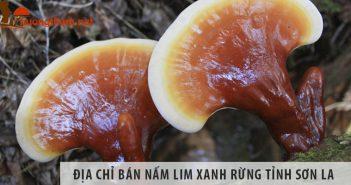 Địa chỉ bán nấm lim xanh rừng uy tín tại Sơn La