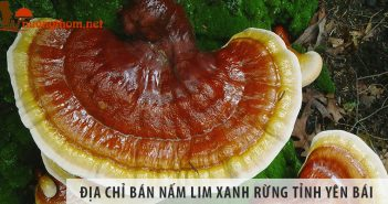 Địa chỉ bán nấm lim xanh rừng uy tín tại tỉnh Yên Bái