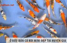 Ở đâu bán cá Koi mini đẹp, giá rẻ tại huyện Gia Lâm?