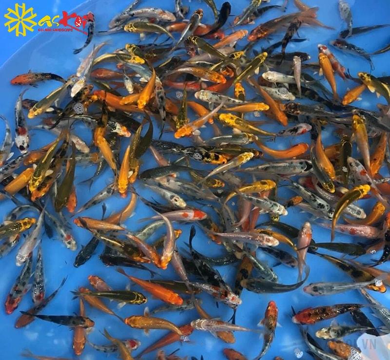 Cần chú tâm và thường xuyên quan sát cá Koi mini khi mới mua về