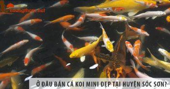 Ở đâu bán cá Koi mini đẹp, giá rẻ tại huyện Sóc Sơn?